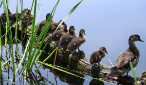 wood-duck-hen-and-ducklings-by-ducklover-bonnie-creative-commons-license